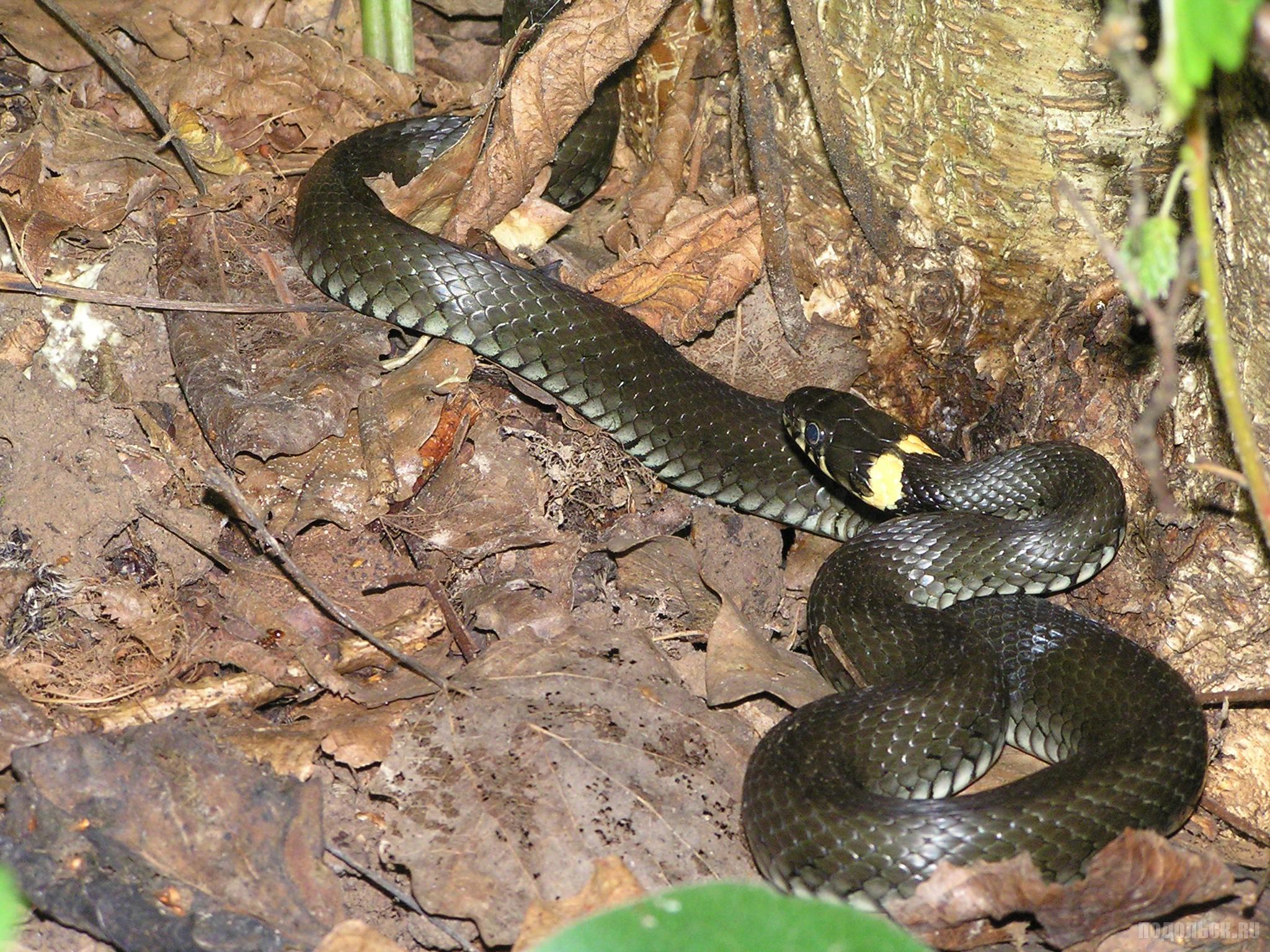 Змеи подмосковья виды фото и названия
