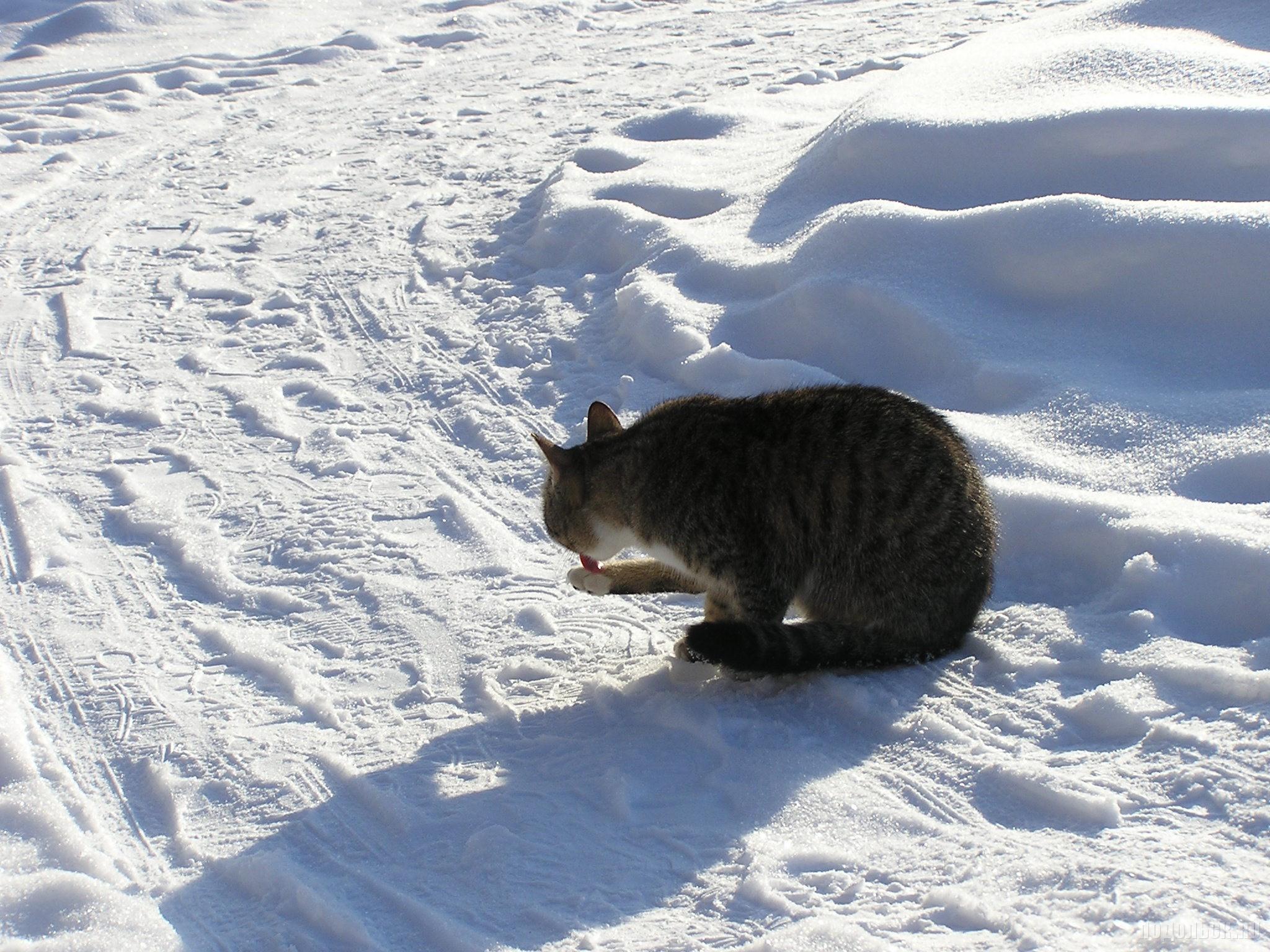 Кот-умывака на снегу. 24.01.2016.