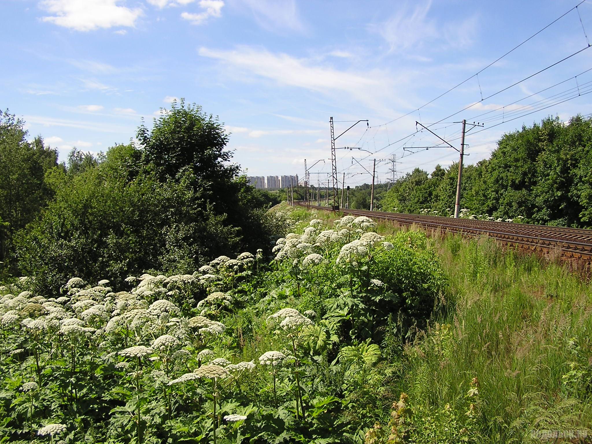 Железная дорога в Битце в сторону Подольска. Борщевик. 29 июня 2016 г.