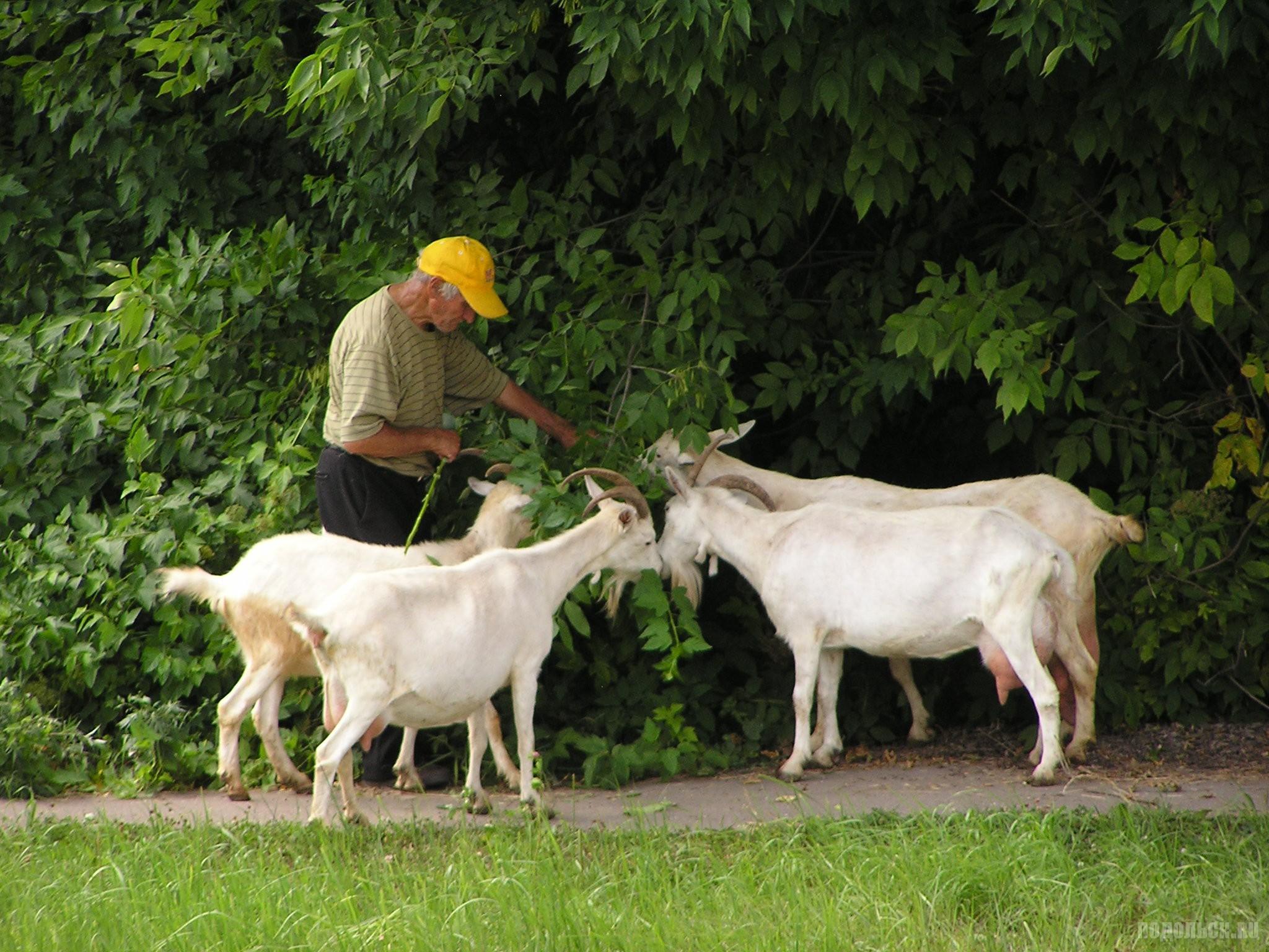 Дедушка с козами. Климовск, 16 июля 2016 г.