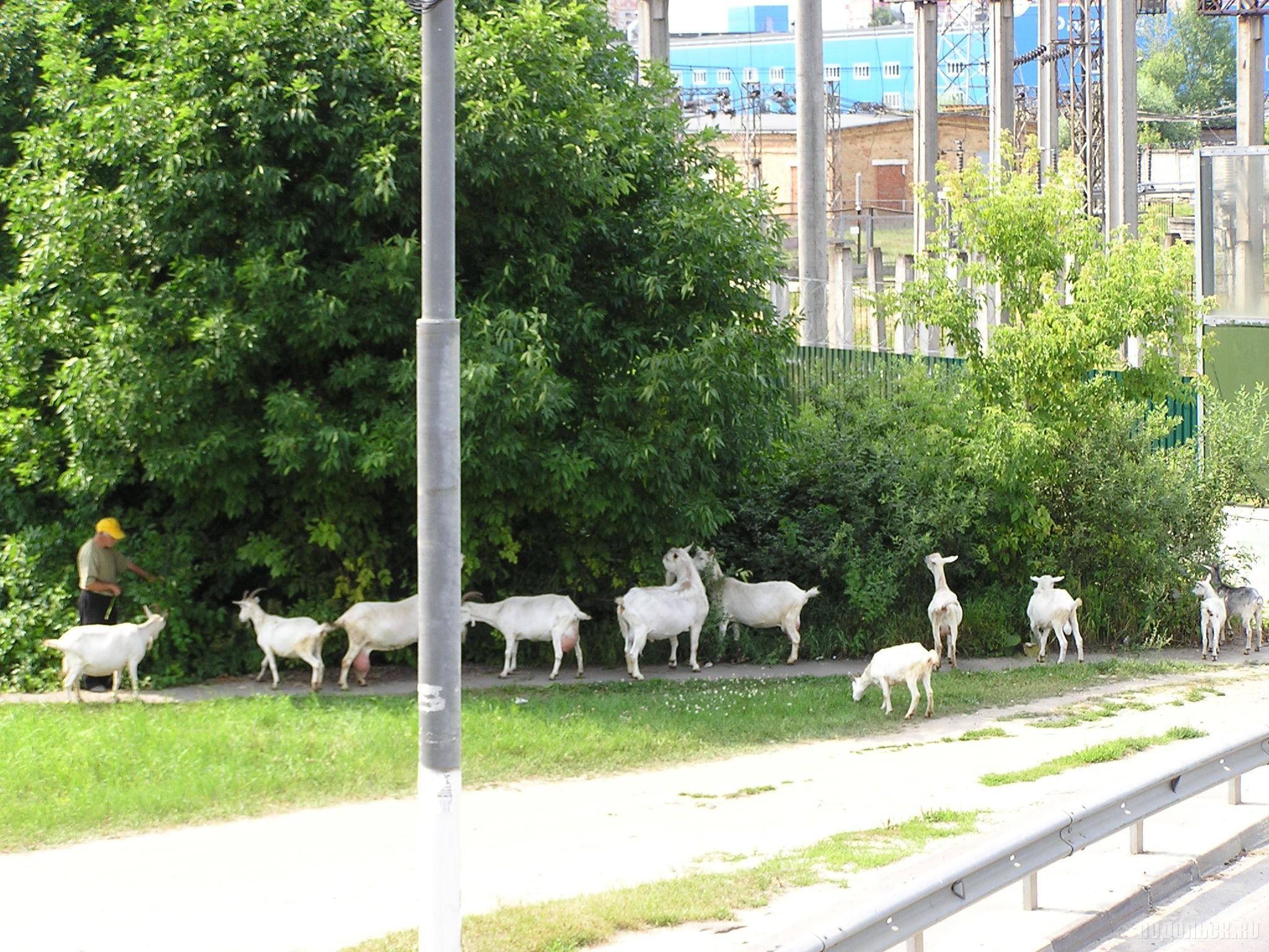 Стадо коз у дороги в Климовске. 16 июля 2016 г.