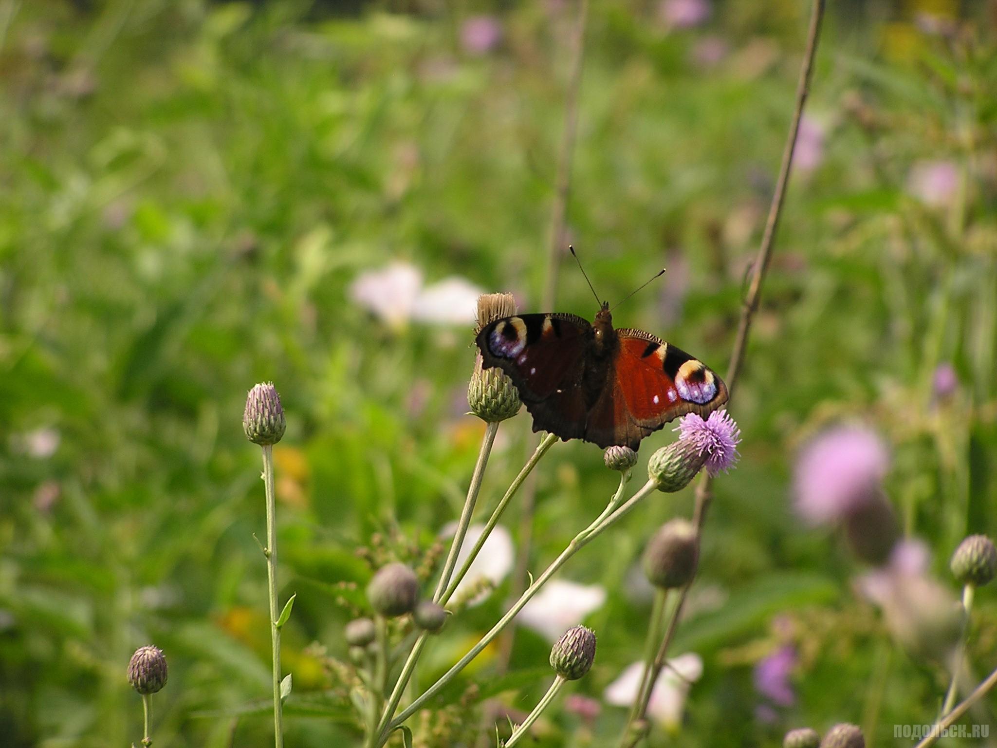 Павлиний глаз (лат. Inachis io), дневной павлиний глаз — дневная бабочка из семейства нимфалид (Nymphalidae).