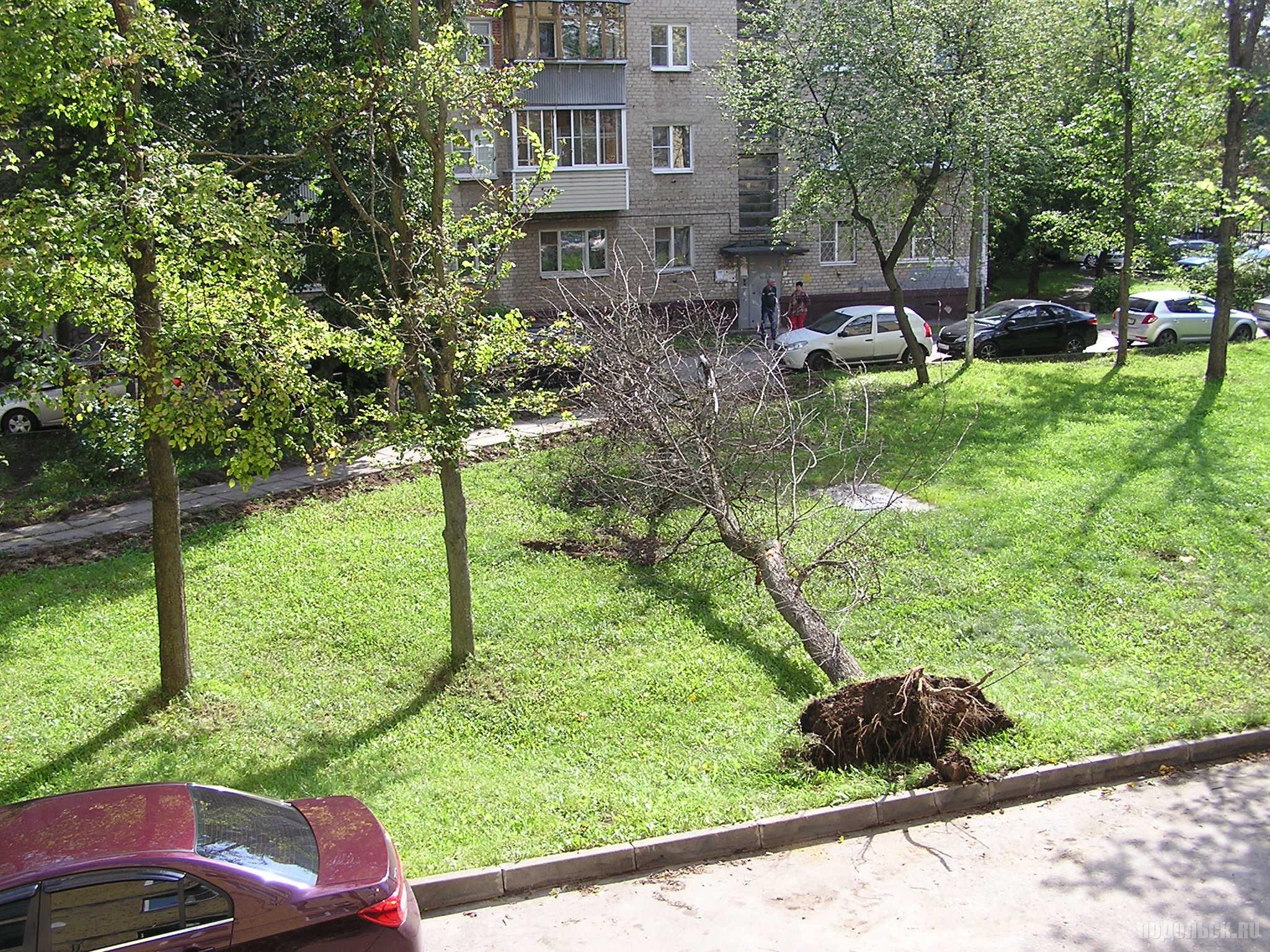 Упавшее засохшее дерево во дворе. Август 2016 г.