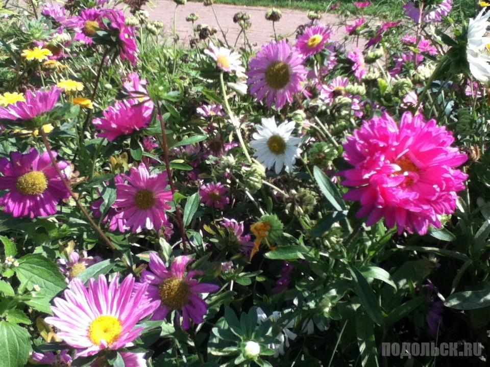 Цветы в Детском парке. Климовск. Август 2016 г.