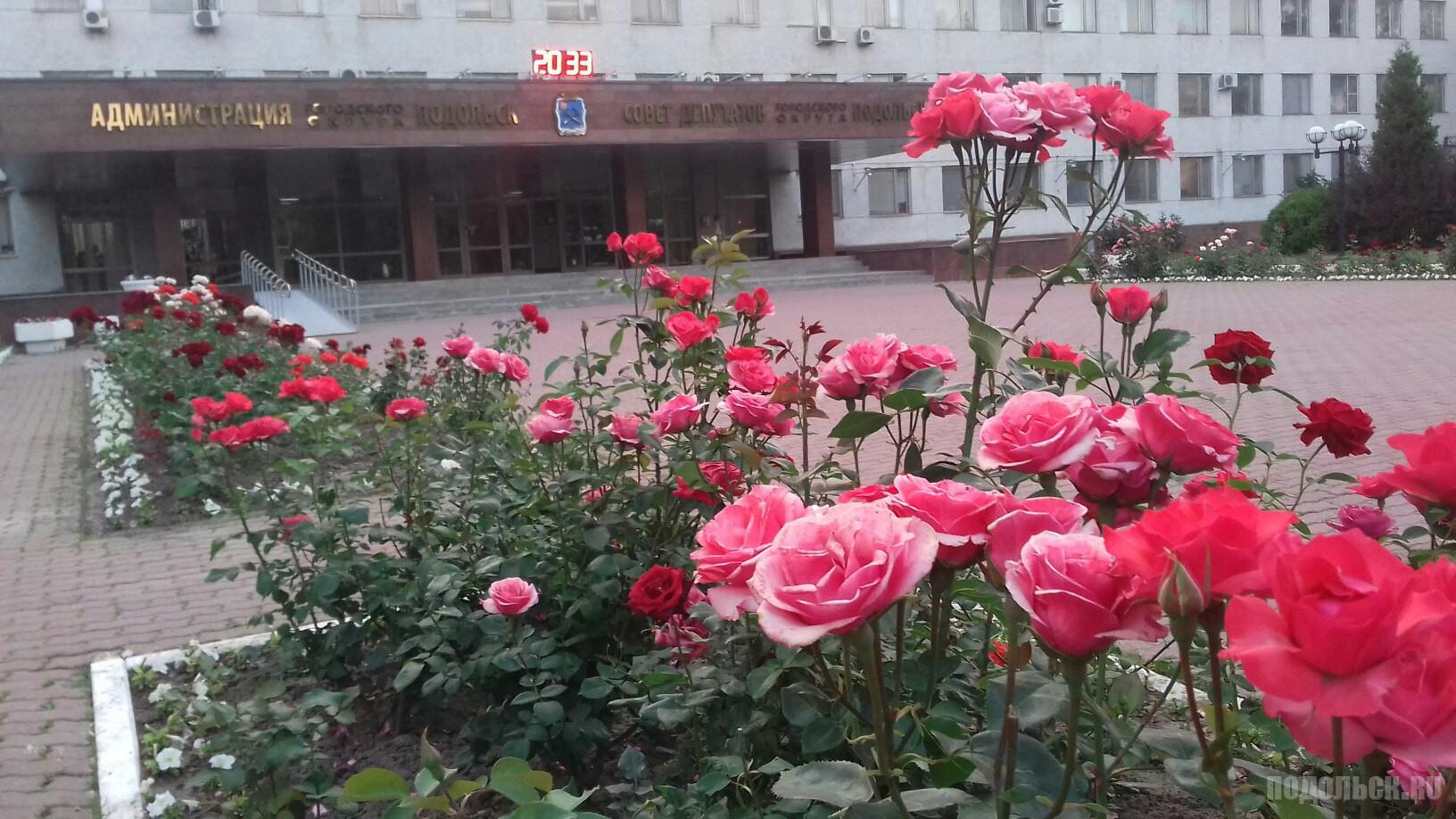 Розовая роскошь у здания администрации. Июнь, 2016.