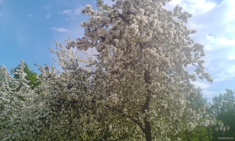 Яблони в цвету. Детский парк, май 2017.