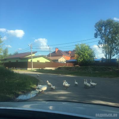 Гуси идут купаться