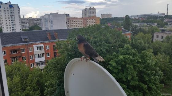 Окольцованный голубь на спутниковой тарелке. Июль 2018